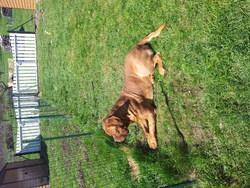Fulgor, chien Dogue de Bordeaux