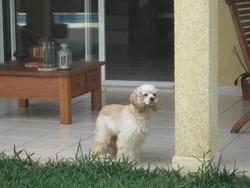 Fulia, chien Cocker américain
