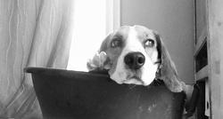 Funcky, chien Beagle