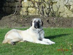 Funga, chien Berger d'Anatolie