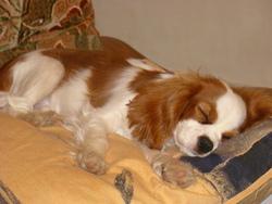 Funk, chien Cavalier King Charles Spaniel