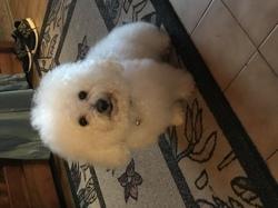 Funky, chien Cavalier King Charles Spaniel