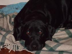 Funky, chien Labrador Retriever