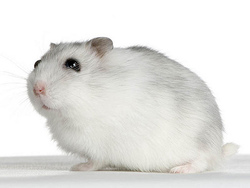 Funky, rongeur Hamster