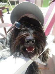 Funky, chien Schapendoes néerlandais