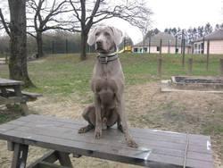 Funky, chien Braque de Weimar