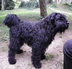 Funky Dite Zaza-Fun , chien Bouvier des Flandres
