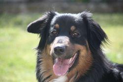 Funny, chien Berger australien