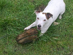 Funny, chien Jack Russell Terrier