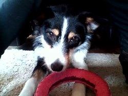 Funny, chien Border Collie