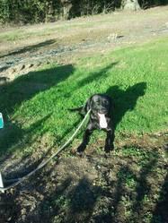 Funny, chien Labrador Retriever