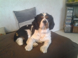 Funny, chien King Charles Spaniel