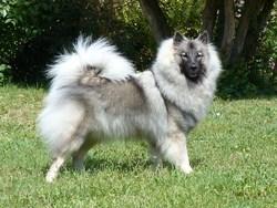 Funny, chien Spitz allemand