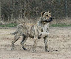 Fuentes, chien Dogue de Majorque