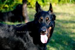 Funy De Euskal Herria, chien Beauceron
