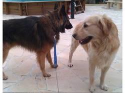 Funzy, chien Berger belge