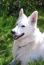 Furby, chien Berger blanc suisse
