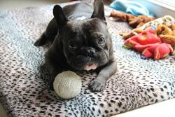 Furby, chien Bouledogue français