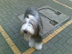Furie, chien Bearded Collie