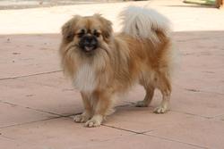 Furka-King, chien Épagneul tibétain