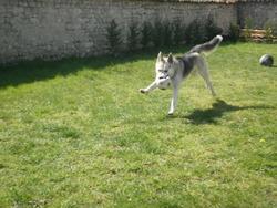 Furko, chien Husky sibérien
