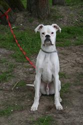 Furuis, chien Boxer