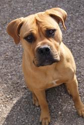 Fury, chien Bullmastiff