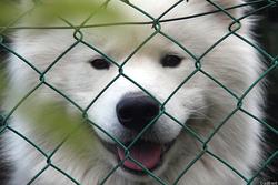 Fury-Bolt, chien Samoyède
