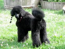Fusain Noir, chien Caniche