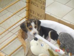 Fuse, chien Beagle
