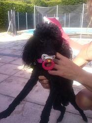 Fushia, chien Caniche