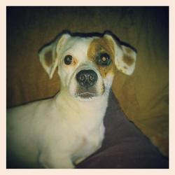 Fushiah , chien Jack Russell Terrier