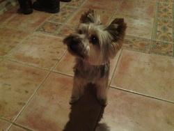 Futé, chien Yorkshire Terrier