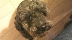 Fuzech, chien Caniche