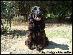 Fuzi Dite Thais Of Caniland'S Dream, chien Cocker anglais