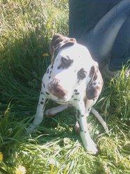 Fyana Au Bonheur Des Peuches, chien Dalmatien
