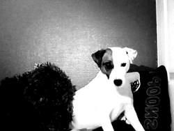 Fybi, chien Jack Russell Terrier