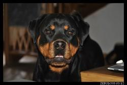 Fybie Des Gladiateurs De Rottweil, chien Rottweiler