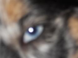 Fidjye, chien Berger australien