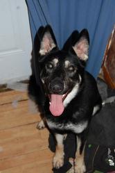 Fyora, chien Berger allemand