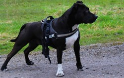 G Elektra, chien American Staffordshire Terrier