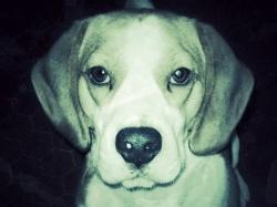 G'Eliot De Maxcecan, chien Beagle