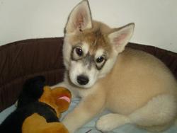 G'Enzo, chien Husky sibérien