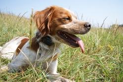 G, L'Epagneul Breton, chien Épagneul breton