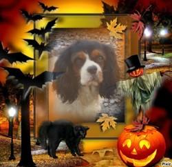 G'Lili Du Royaume D'Orichalque, chien Cavalier King Charles Spaniel