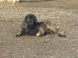 G'Mos, chien Chien de montagne portugais