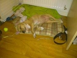 G'sijah, chien American Staffordshire Terrier