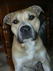 G-Star, chien American Staffordshire Terrier