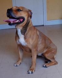 Grey, chien American Staffordshire Terrier