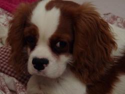 Gabana, chien Cavalier King Charles Spaniel